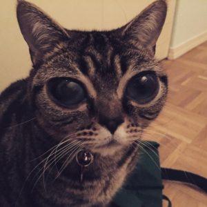Matilda la gatta dagli occhi grandi star del web