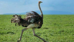 Qual' è l'uccello più grande e veloce del mondo?