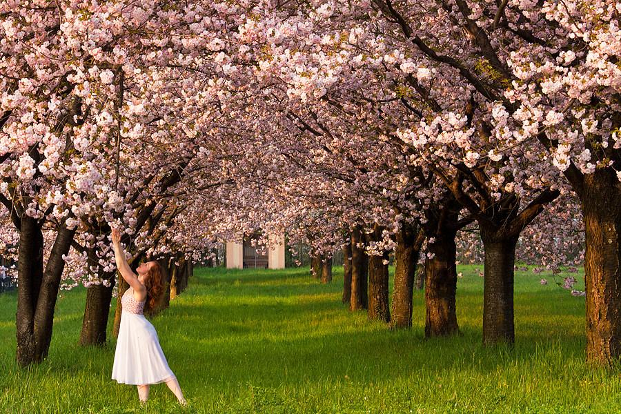 Due ciliegi innamorati poesia frasi aforismi e citazioni - Il giardino dei ciliegi ...