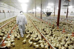 Carne di pollo e antibiotici