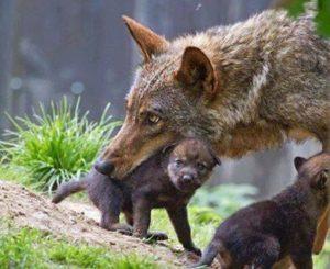 Perché si dice in bocca al lupo e si risponde crepi il lupo