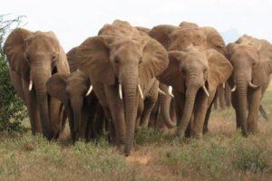 Perché un elefante non dimentica mai