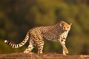 animale piu veloce del mondo