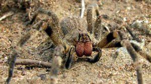Perché Il ragno delle banane è considerato il più velenoso?