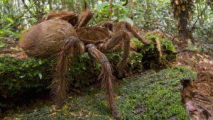 ragno più grande al mondo