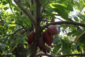 Il cioccolato pianta