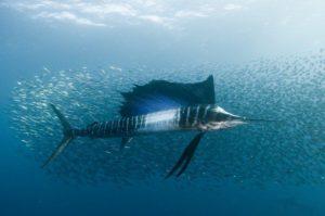 animali più veloci del mondo pesce vela
