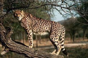ghepardo veloce