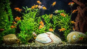 Come curare e rendere longeva la vita di un pesce rosso for Pesci per acquario piccolo
