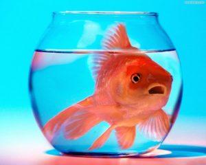 pesce rosso curare
