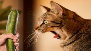 perché i gatti hanno paura dei cetrioli