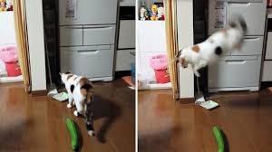 Perchè i gatti hanno paura dei cetrioli